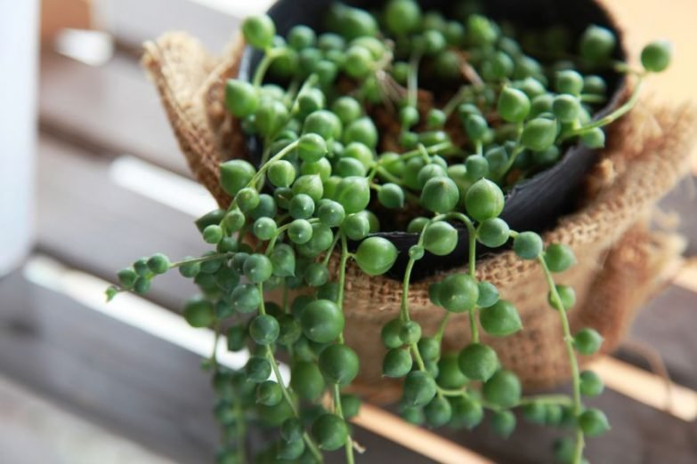 string of pearls plant dying