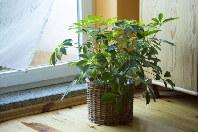 umbrella tree hard to kill houseplants