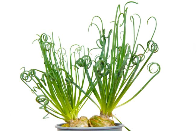 Corkscrew Plant Albuca spiralis unusual houseplants