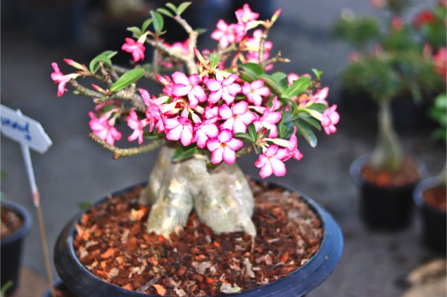 desert rose adenium unusual houseplants