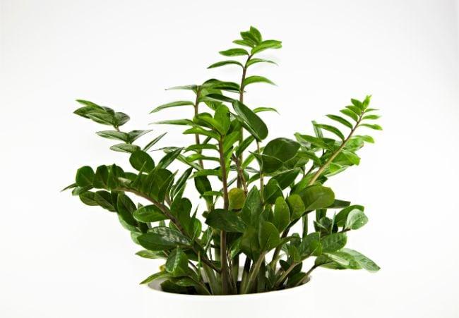 zz plant hard to kill houseplants