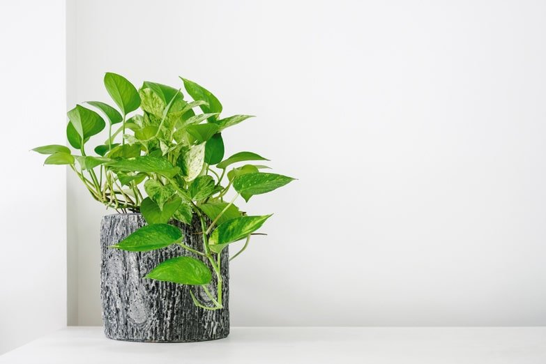 A Practical Guide On How To Prune Pothos Houseplants