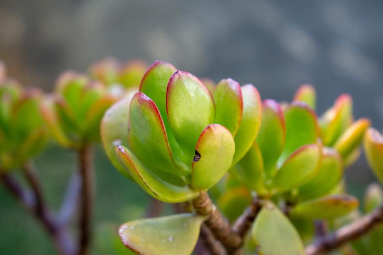 Why Are My Jade Plant Leaves Turning Yellow