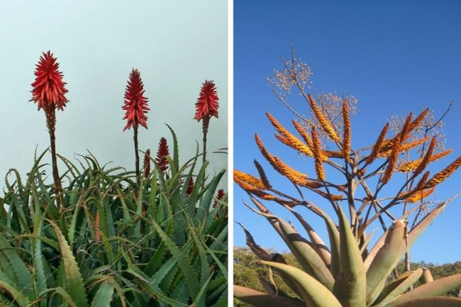 flowers of aloe vera and agave