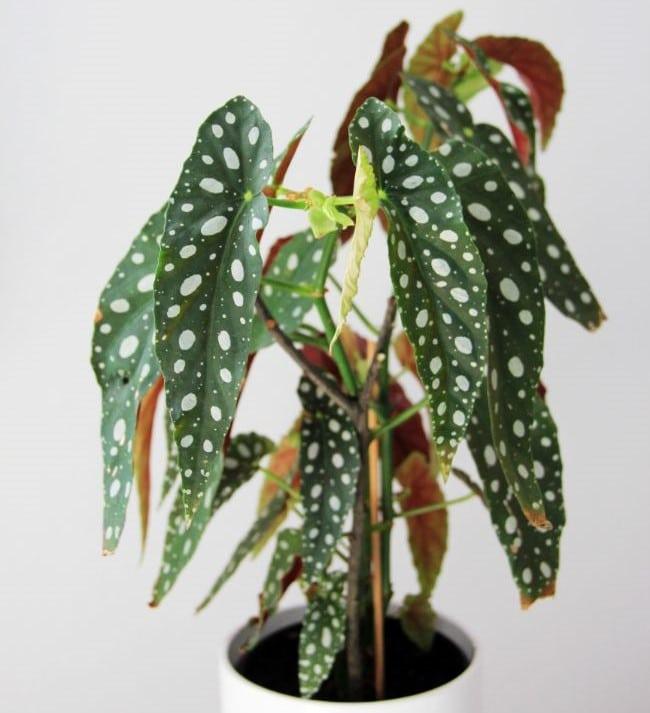 begonia maculata latin plant names