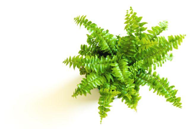 boston fern best bathroom plants