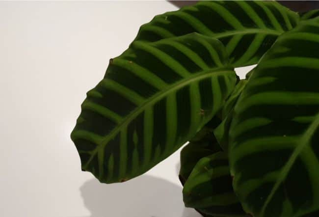 calathea zebrina leaf closeup