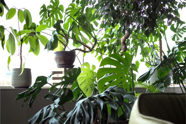 common houseplant pests