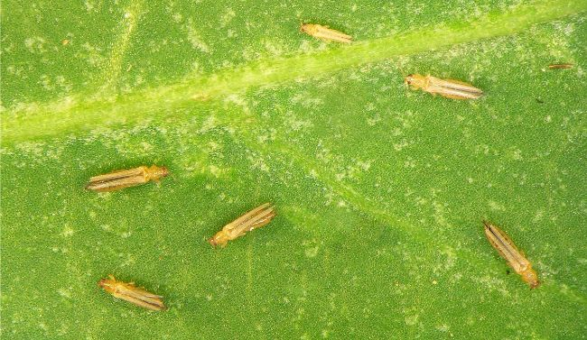 common houseplant pests thrips