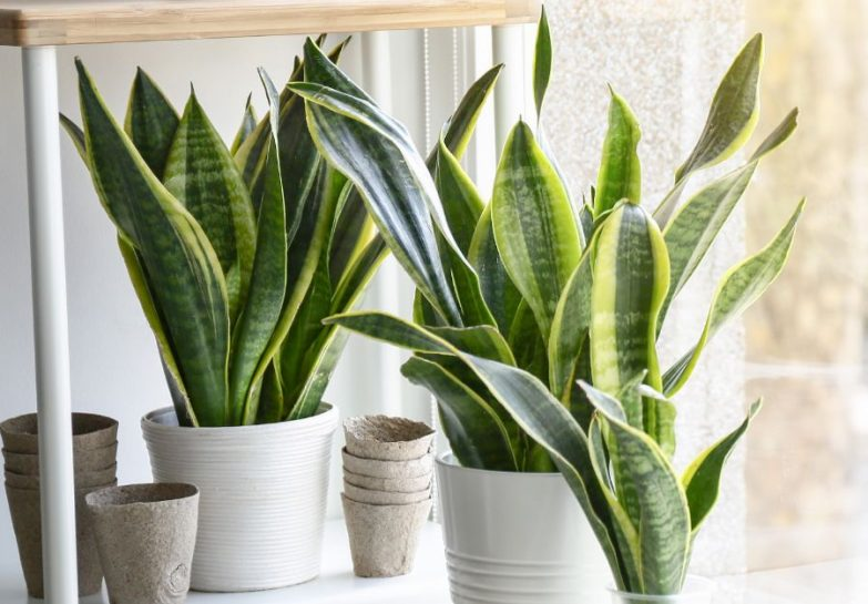how to prune a snake plant