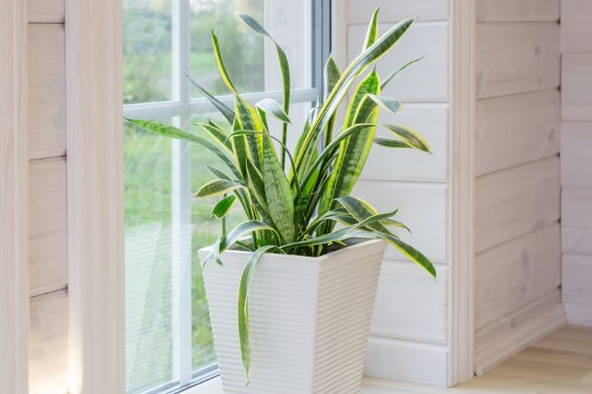 when to prune a snake plant sansevieria