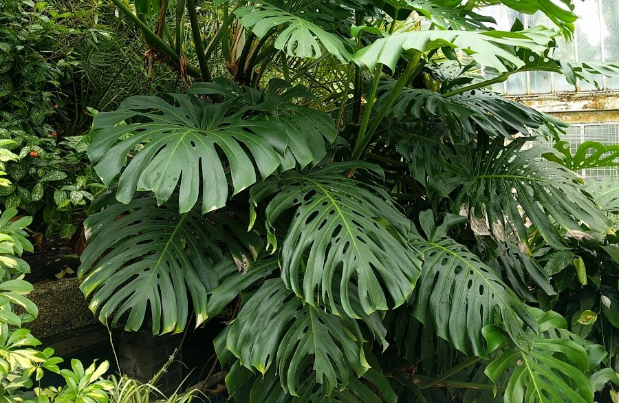 monstera deliciosa latin plant names explained