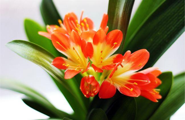 low light flowering indoor plants clivia