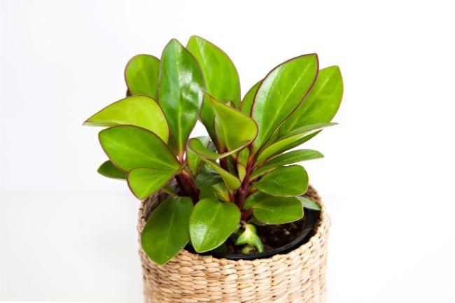 peperomia bathroom plant