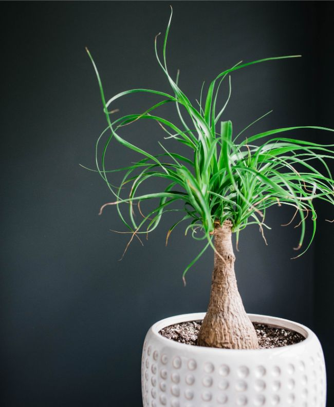 ponytail palm brown tips