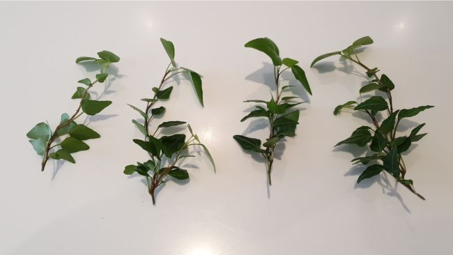 ivy cuttings for propagation