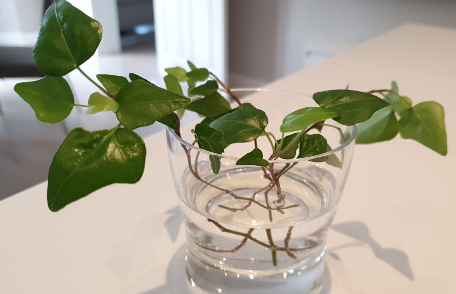 How To Propagate Ivy In Water Step By Step Guide Smart Garden Guide