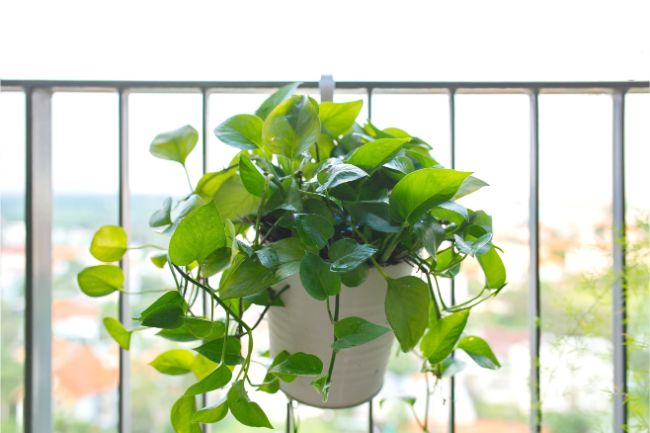 prune pothos houseplants