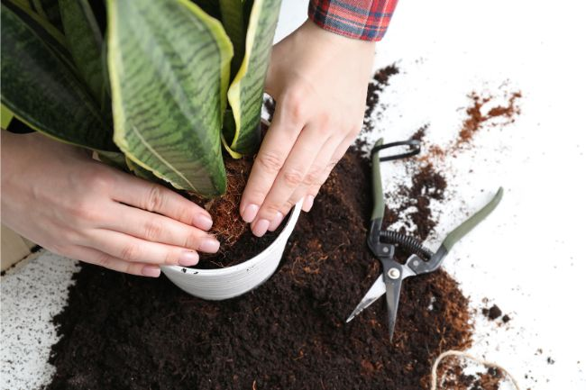 how to repot a root bound plant