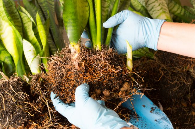 assessing the roots before repotting