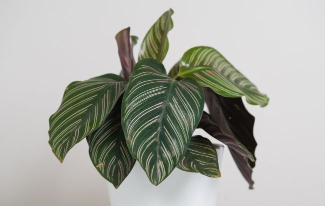 calathea leaves turning yellow