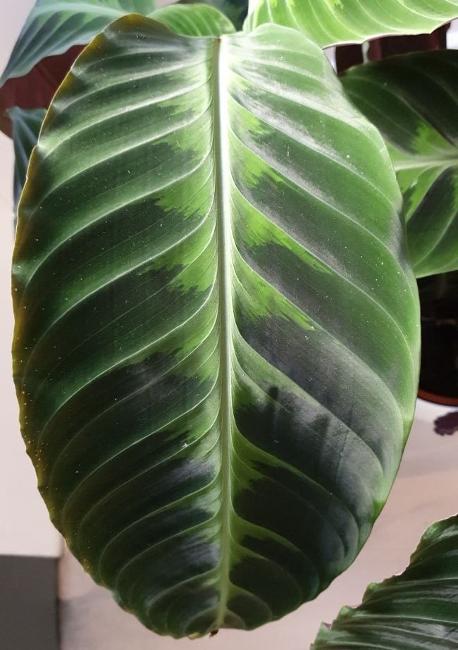 calathea warscewiczii leaf up close