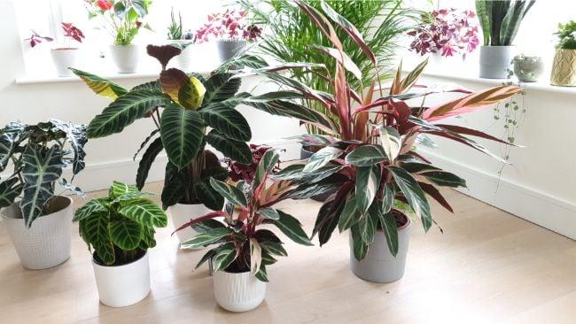 calathea warscewiczii grouped with other houseplants