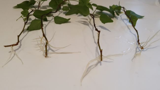 Ivy after water propagation