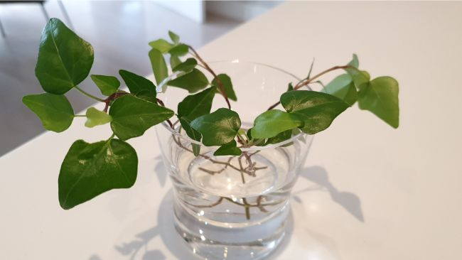 propagating ivy in water