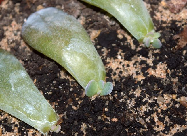 how to propagate succulent leaf cuttings