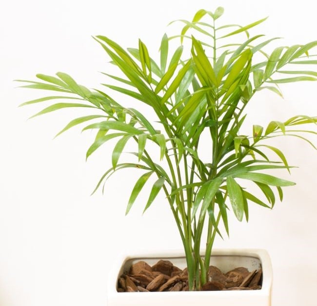 why is your indoor palm tree dying?