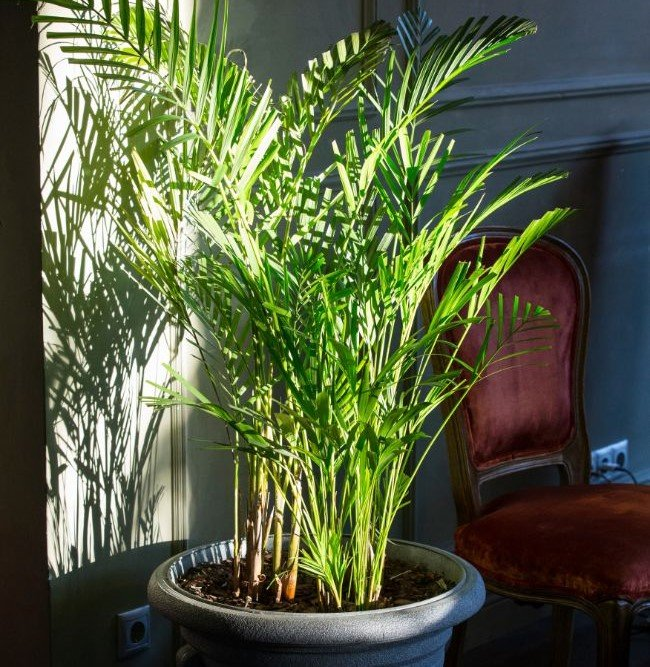 reasons for indoor palm tree dying