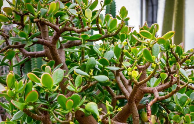 jade plant leaves turning yellow