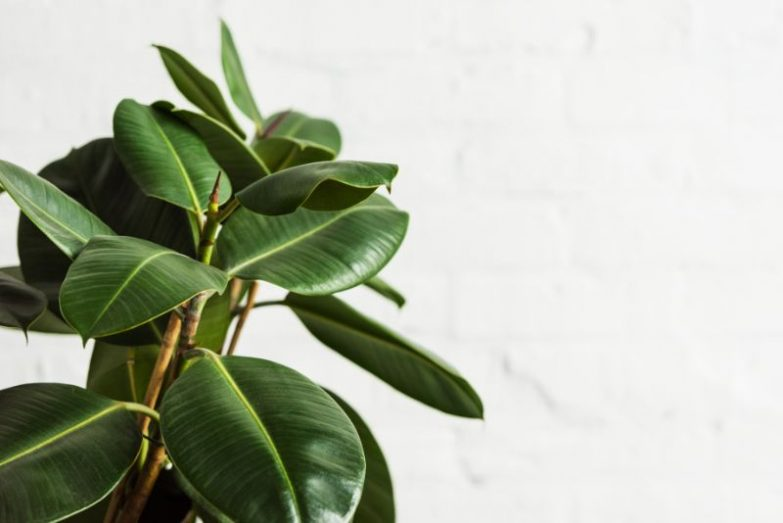rubber plant leaves curling