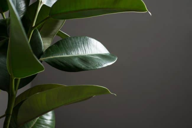 rubber plant losing leaves