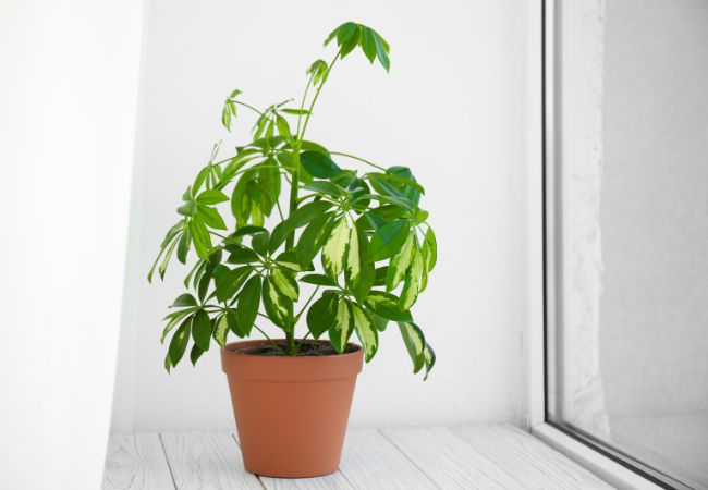 umbrella plant near window (Schefflera Arboricola)