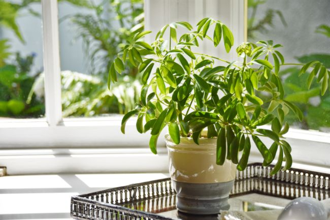 umbrella plant (Schefflera) in sunlight