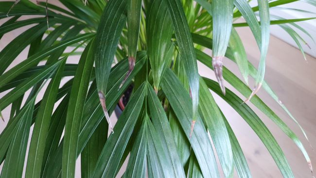 Brown leaves on my Areca palm (Dypsis lutescens)