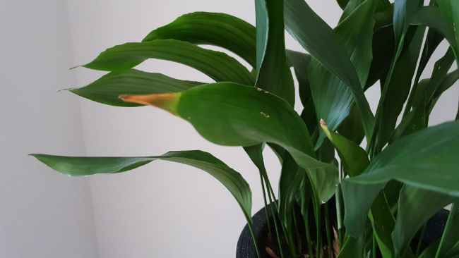 Brown leaves on cast iron plant (Aspidistra elatior)