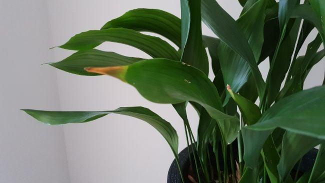 Brown leaves on cast iron plant (Aspidistra elatior)