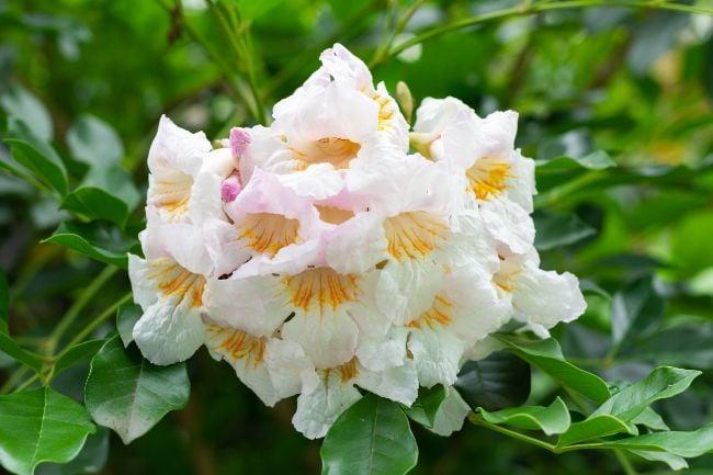 flowers of china doll plant (radermachera sinica)