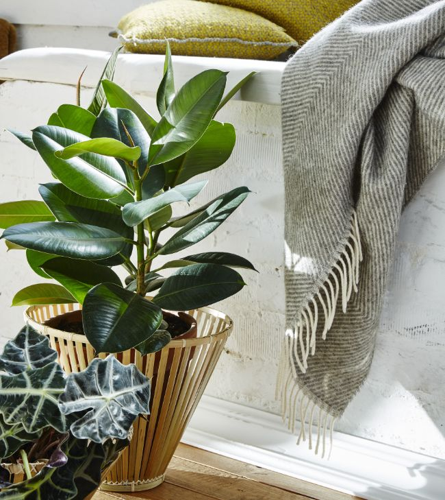 how to prune a rubber plant