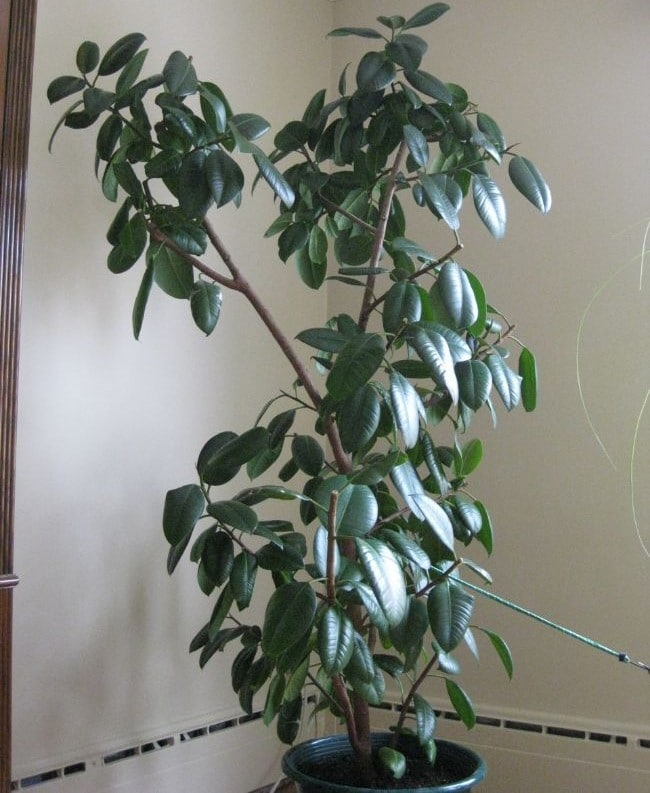 rubber plant pruning