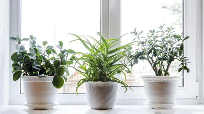 overcast conditions reducing light intensity for plants