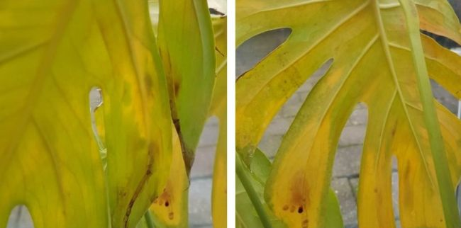 monstera deliciosa yellow leaves due to overwatering