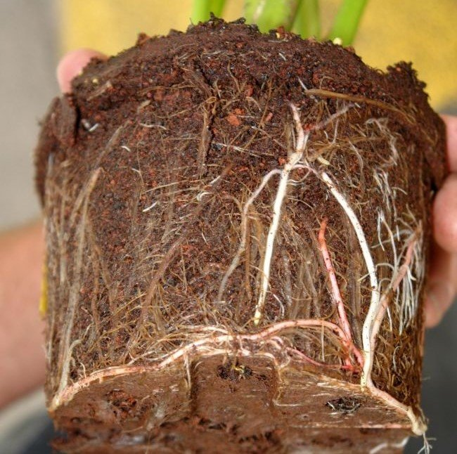 root rot common houseplant diseases
