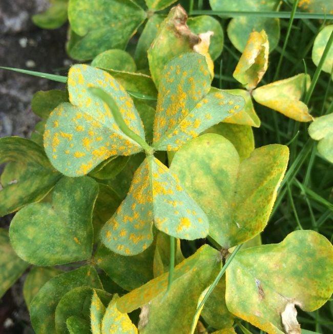 rust spots on leaves