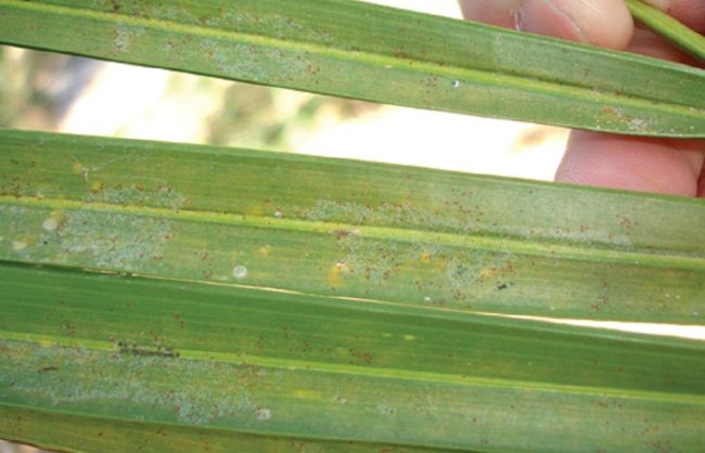 other causes of rust spots on leaves