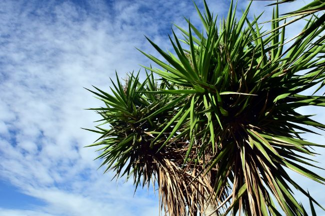 yucca plant dying