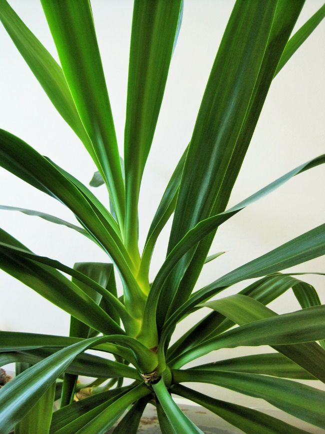 causes of yucca plant dying
